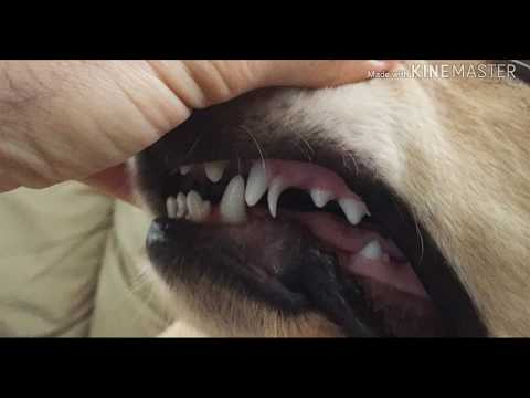 How To Help Puppy Teeth Fall Out Healthy Dog Chews Retained Puppy Teeth