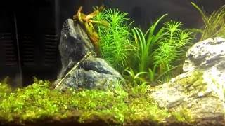 Рыбка Петушек Коронохвостый (Петух)