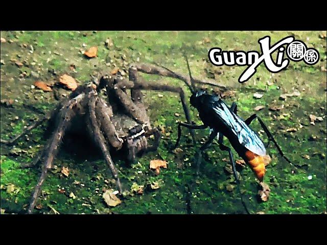 黃蜂與獵人蜘蛛 (Wasp Vs Huntsman Spider) - Taiwan