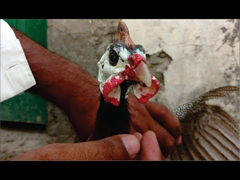 guinea-fowel-hen-male-and-female-diffrence-||-how-to-purchase-guinea-fowl-pair-in-urdu-hindi