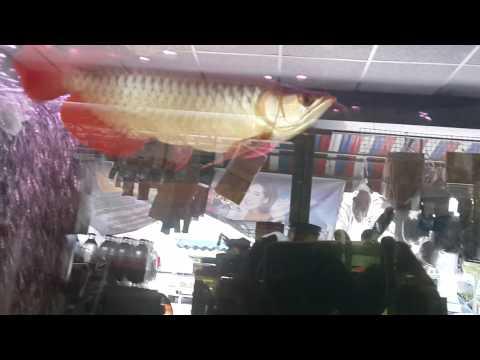 ปลามังกรแดงกินจิ้งจก