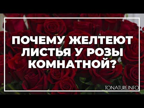 Почему желтеют листья у розы комнатной? | toNature.Info
