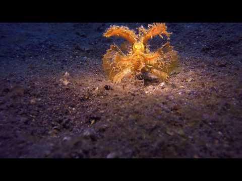 Ambon Scorpionfish Eats A Shrimp In Lembeh