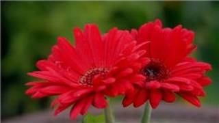 Garden Tips : How Do I Grow Gerbera Daisy Flowers?