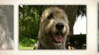 Irish Wolfhound Temperament