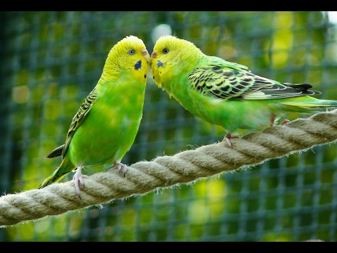 8 Hours Parakeets Chirping Sounds, Meditation Budgies Songs Reduce stress blood pressure heart