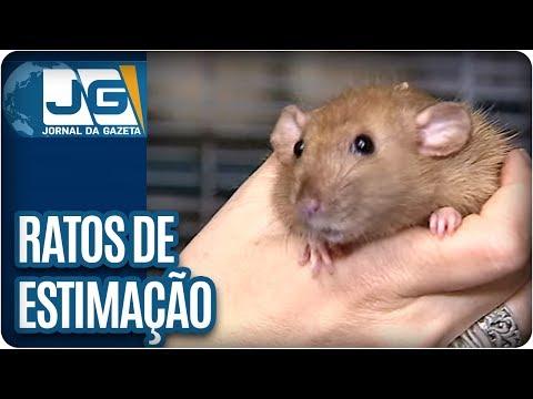 Ratos de estimação, na gaiola, com ração