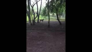 レッドボーンクーンハウンドのクーリーとミックス犬のボックン.