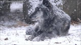 A Snowy Wolf is a Happy Wolf