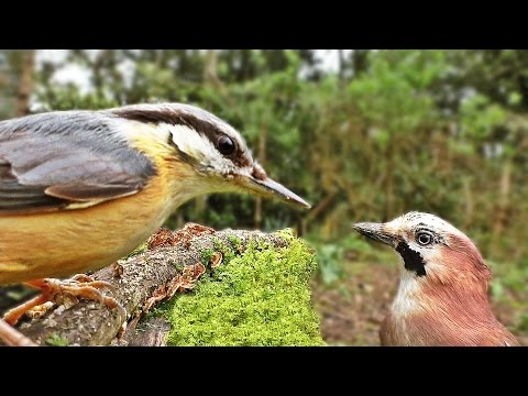 Bird Sounds : Birds Chirping and Wings Fluttering in The Forest Garden