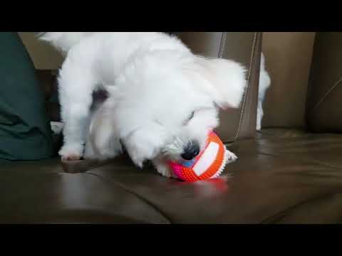 dog playing the music | maltese playing with squeezes toy
