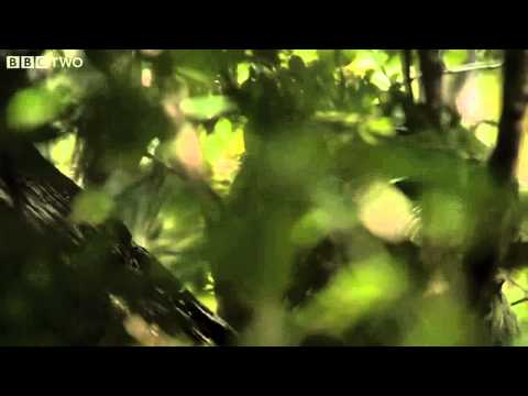 Clumsy Kakapo  The flightless parrot   Natural World  Nature's Misfits preview   BBC Two clip3