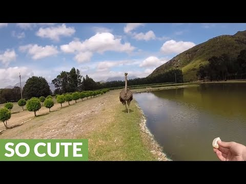 Huge ostrich makes 'enemies' at the park