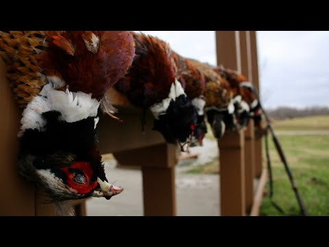 Incredible Indiana Pheasant Hunt 2018!
