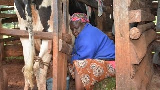 Africa Women Embracing Climate Smart Agriculture - The Case of Dairy farming in Kenya