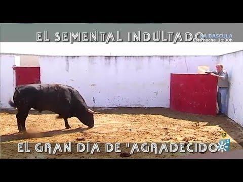 """El Semental Indultado, Gran Día De """"Agradecido""""."""