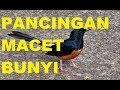 Suara Burung Murai Lampung Untuk Pancingan Macet Bunyi  Mp3 - Mp4 Download