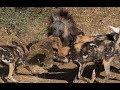 Animal fights - Brown hyena vs leopard and wild dogs