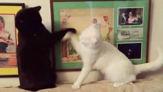 Fight// Чёрный кот, белая кошка