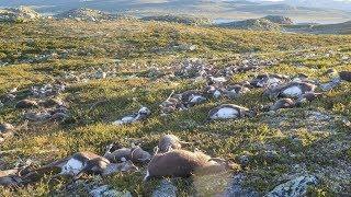 (0.09 MB) Lightning Suddenly K I  ll  ed More Than 300 Reindeer, and Scientists Are Stunned Mp3