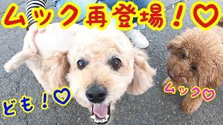 トイプードルのトイプードルによるトイプードル好き・犬好きの方々の為の動画…*ˊᵕˋ*でもあるのかもしれませんが、我が家のトイプードルそ...