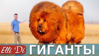 ТОП 10 САМЫХ БОЛЬШИХ ПОРОД СОБАК | ИНТЕРЕСНЫЕ ФАКТЫ | Elli Di Собаки