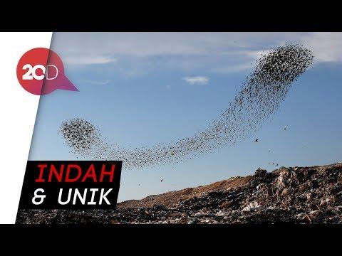 Formasi Ribuan Burung Jalak di Langit Israel