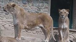 Löwen - Osnabrück Zoo -  https://www.zoo-osnabrueck.de/