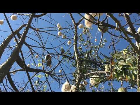 Cotton Trees in Ajijic Mexico