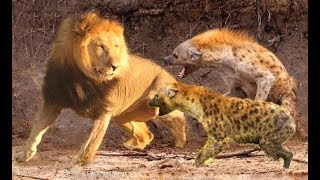 Animal Attack! Hyenas Attack Lion, Buffalo, Wild Dogs
