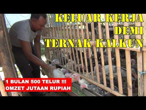 Sukses Ternak Kalkun, Mantan Sopir Raup Jutaan Rupiah Perbulan
