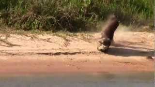 Amazing Jaguar Hunt in Brazil: Jaguar hunting a huge sachavaca!