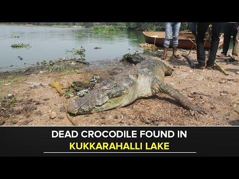 Crocodile found dead in Kukkarahalli Lake, Mysuru - Star of Mysore