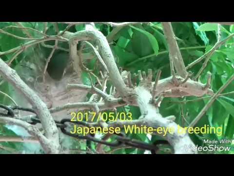 Japanese White-eye breeding