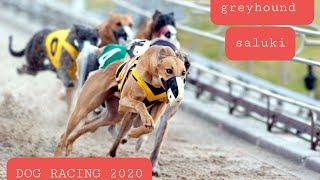 Greyhound and Saluki racing dubai 2020 UAE