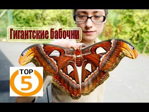 Вопрос: Как выглядит бабочка птицекрыл Приам, где водится, чем питается?
