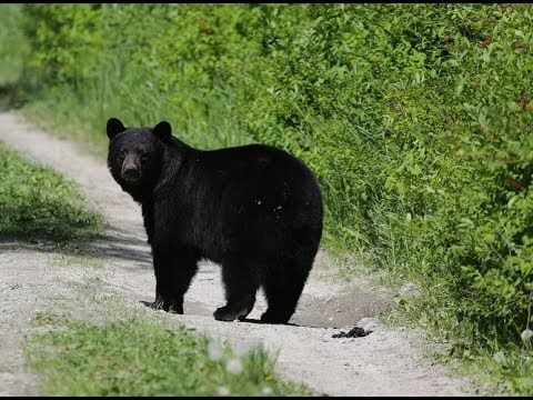 How To Hunt Bears 2020