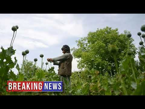HOT NEWS Northern Afghan provinces submit to lure of opium poppies | Daily Mail Online