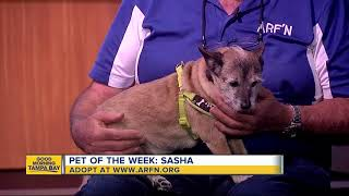 Pet of the week: Sasha is a sweet 5-year-old terrier mix who needs a home