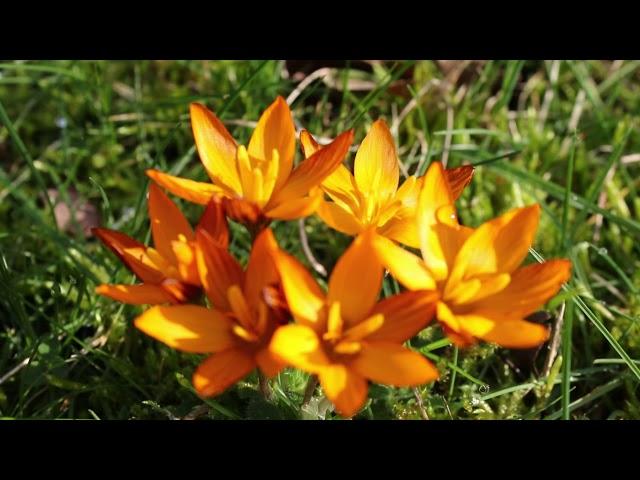 1 minuut natuur crocus balansae orange monarch