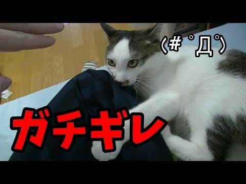 家の猫の威嚇声が可愛すぎるんだがw