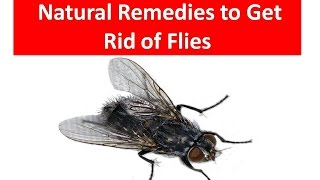 Easy Way How to Get Rid of A House Flies || Kill House Flies