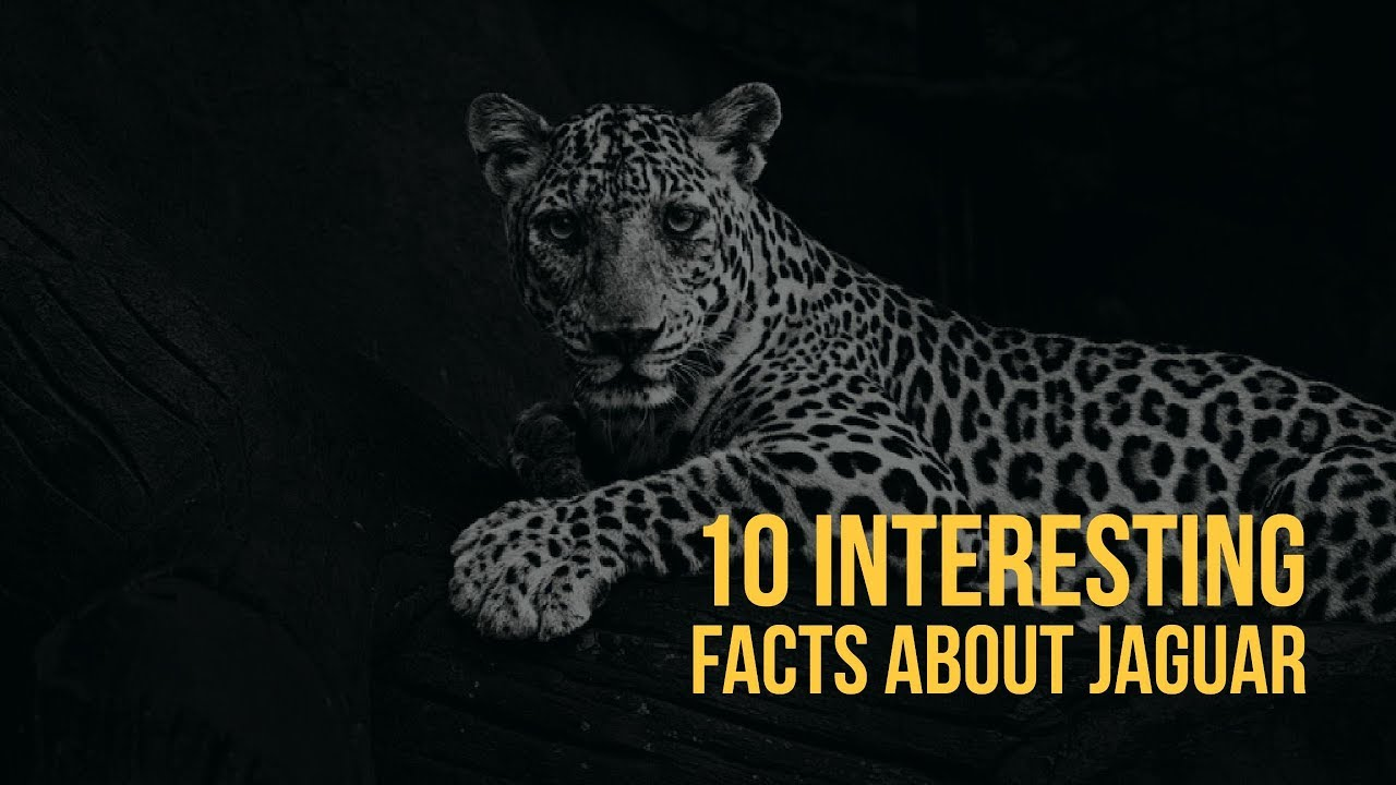10 Interesting Facts You Should Know About Jaguars   Lion   Wild Life