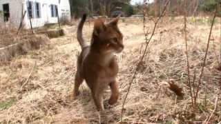 Cats 101 Animal Planet  Abyssinian ** High Quality **