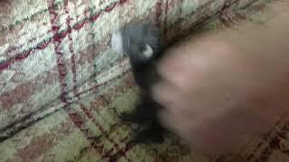 Baby Ferret FUNNY ANIMALS VIDEO.Домашний хорёк.Жизнь в деревне