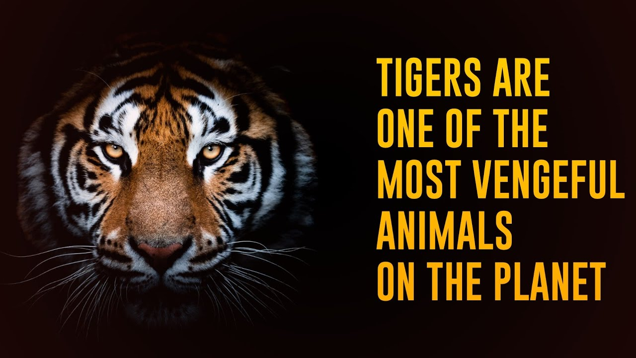 Download 12 Incredible Facts About Tigers