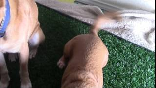 Prevue Pet Products Tinkle Turf For Large Dogs - Review