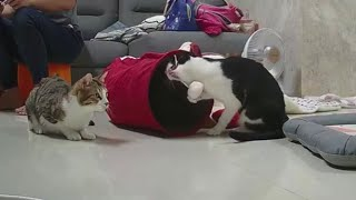24h貓咪觀察室#710 爭奪新玩具的妞輪,希望能好好相處 20210113 (MiMi醬&黑妞&阿金&黑輪 歐戀) Cat Observation