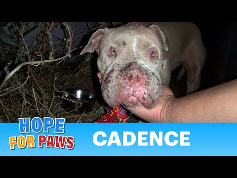 Saving Cadence – an abused Pit Bull shows us the power of second chances.  Please share.