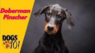 Dog 101  Doberman Pinscher